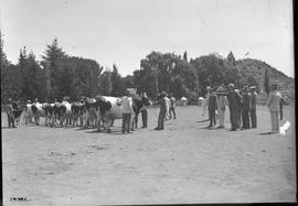 Graaff-Reinet district, 1922. Inspecting Frieslanders at Coloniesplaats.