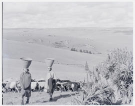 """Eshowe district, 1956. Women and cattle at Nkandla forest."""