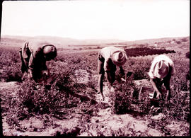 """Nelspruit district, 1926. Picking tomatoes."""