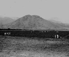 Barberton, 1922. Cotton field.