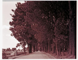 Paarl district, 1939. Tree-lined rural road.