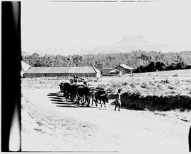 Bethlehem district, 1946. Ox wagon.