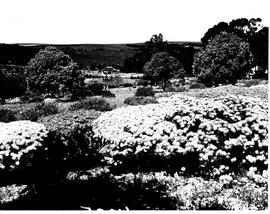 Caledon, 1953. Wildflower garden.