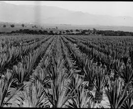 Barberton, 1922. Sisal field.