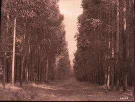 Tzaneen district. Eucalyptus saligna trees at Duiwelskloof.