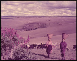 Women carry baskets on their heads, with a flock of sheep.