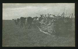 Oxen drawing sledge with firewood across veld.