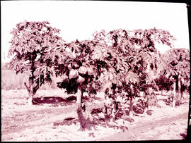 """Nelspruit district, 1926. Pawpaw trees."""