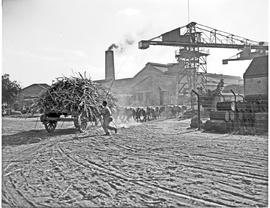 Durban district, 1946. Mount Edgecombe, oxen hauling cane at sugar mill