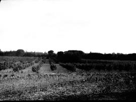 Caledon district, 1928. Fruit orchard at Elgin.