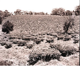 """Vryheid district. 1946. Tea estate."""