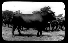 Round in Nine Tours - cattle.