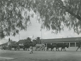 Mafeking, 1946. Ox wagon before statue of Cecil John Rhodes.