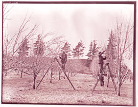 Workers pruning orchard.