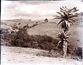 Vryheid district, 1967. Aloe in veld.