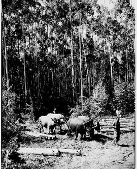 Barberton district, 1954. Eucalyptus timber plantation.