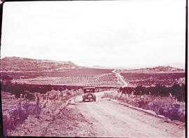 """Nelspruit district, 1926. Road through orange groves."""