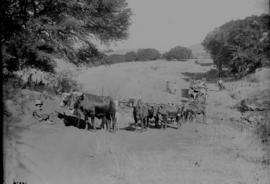 Natal. Ox wagon crossing dry river bed.
