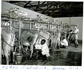 """Nelspruit district, 1954. Milking time on dairy farm."""