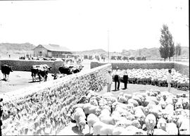 Graaff-Reinet district, 1922. Sheep in pens at Coloniesplaats.