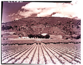 Paarl district, 1939. Vineyard.