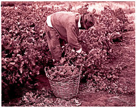 """Worcester district, 1970. Picking grapes."""
