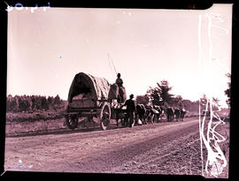 """Knysna district, 1945. Ox wagon."""