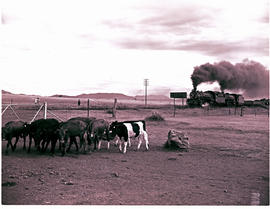 """Queenstown district, 1963. Cattle with double-headed train in the distance."""