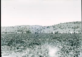 Estcourt district, 1922. Amongst the cotton at Mr Elliot.