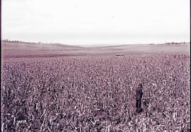 Circa 1912. Mealie field during drought.
