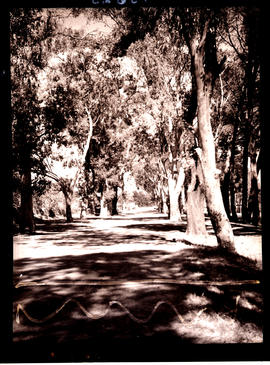 """Aliwal North, 1938. Tree-lined street."""