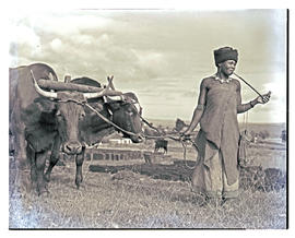 Transkei, 1952. Xhosa woman ploughing with oxen.
