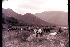 Cattle in open veld with mountain in background.