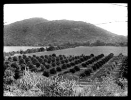 Round in Nine Tours - citrus orchard.
