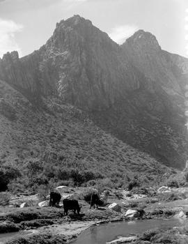 Montagu district, 1936. Cattle at Cogmanskloof.