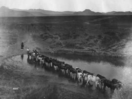 Drakensberg. Ox wagon with 16 oxen crossing a drift near Mont-Aux-Sources.