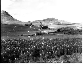 Caledon district, 1954. Farm field in bloom.