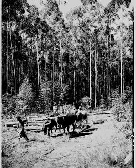 Barberton district, 1954. Hauling logs in Eucalyptus timber plantation.