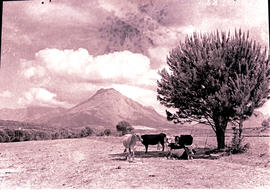 Paarl district, 1943. Cattle in the Groot Drakenstein valley.
