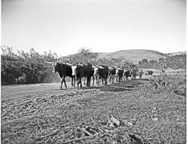 Durban district, 1946. Mount Edgecombe, oxen hauling cane.