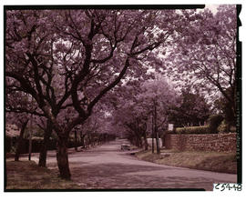 Johannesburg, 1963. Jacaranda trees in Houghton.