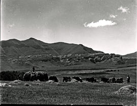 Bethlehem district, 1947. Making hay with cattle on the field.
