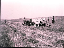 Harvesting hay with donkeys.