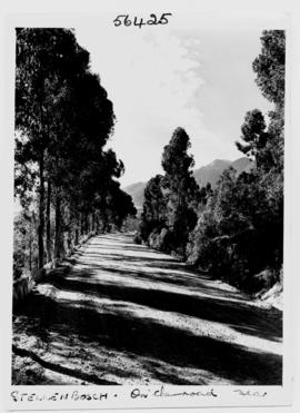Stellenbosch, 1950. Tree-lined country road.