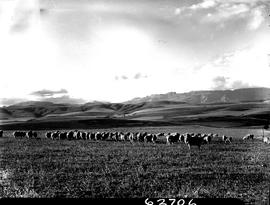 Caledon district, 1954. Herd of sheep.