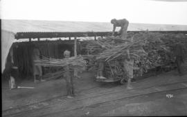 Taking sugar cane from drying racks in shed and loading onto narrow gauge train.