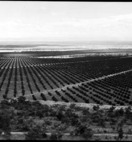 Tzaneen district, 1927. Zebediela Estates with orange orchard of 2000 trees.