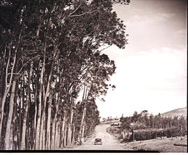 Vryheid district, 1952. Road alongside plantation at Izihlengeni.