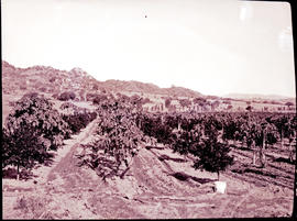 """Nelspruit district, 1926. Fruit orchard."""