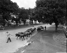 George, 1949. Span of oxen in street.